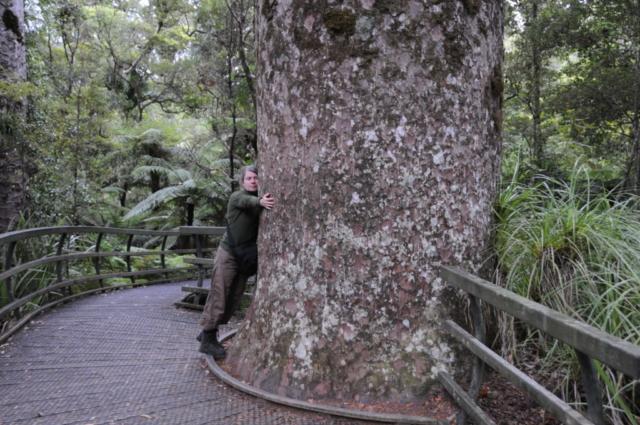 Kauri træ i Puketi Forrest